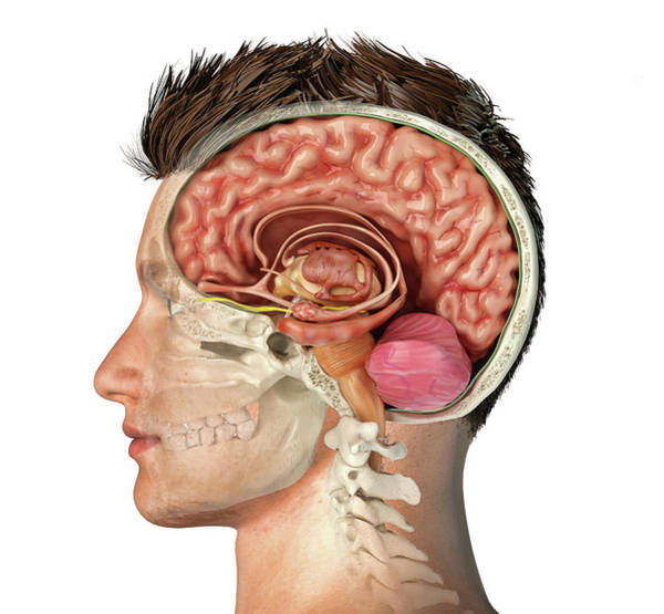 Wall Art - Photograph - Male Head With Skull Cross Section by Leonello Calvetti