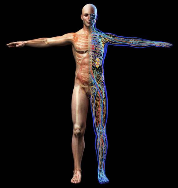 Wall Art - Photograph - Male Skeletal, Internal Organs Diagram by Leonello Calvetti