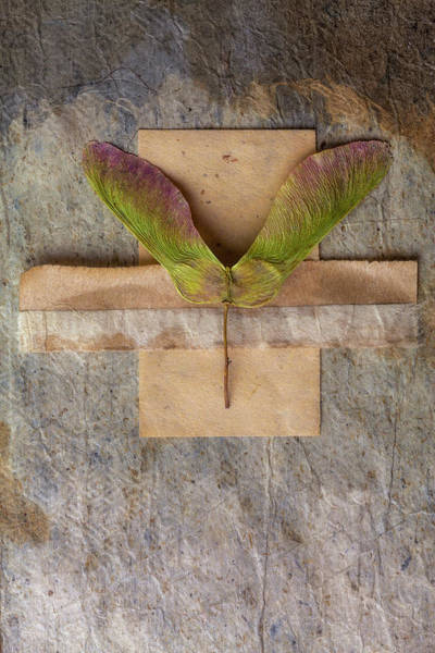 Pod Wall Art - Mixed Media - Maple Tree Seed Pod by Carol Leigh