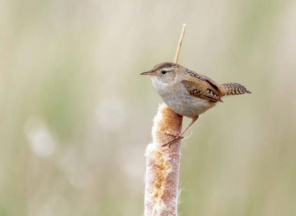 Photograph - Marsh Wren by Michael Chatt