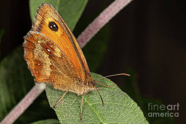 Photograph - Meadow Brown by Brian Roscorla