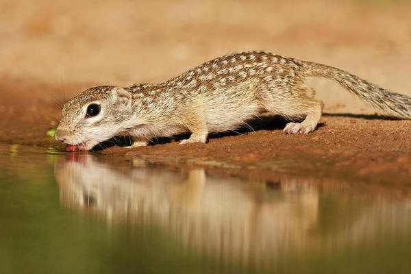 Ground Photograph - Mexican Ground Squirrel Spermophilus by Danita Delimont