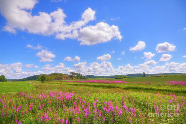 Fireweed Photograph - Mid-summer by Veikko Suikkanen