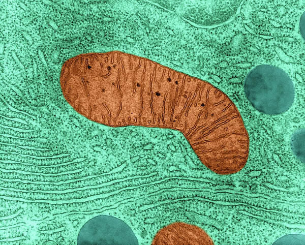 Wall Art - Photograph - Mitochondrion In Bat Pancreas Cell, Tem by Omikron