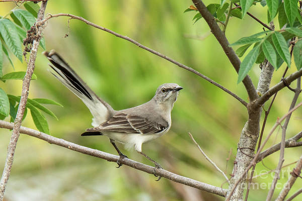 Photograph - Mockingbird by Michael D Miller