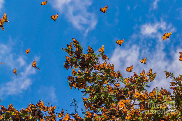 Monarch Butterflies On Tree Branch In Art Print