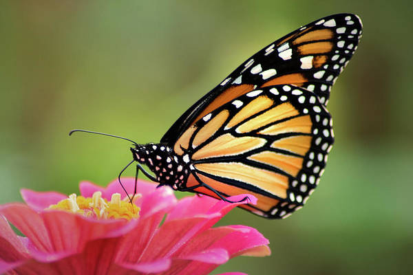 Photograph - Monarch Butterfly by Don Johnson