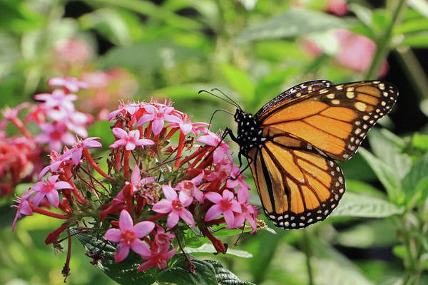 Photograph - Monarch Butterfly by Tony Murtagh