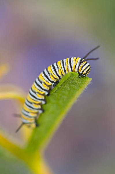 Wall Art - Photograph - Monarch Caterpillar by Michael Lustbader