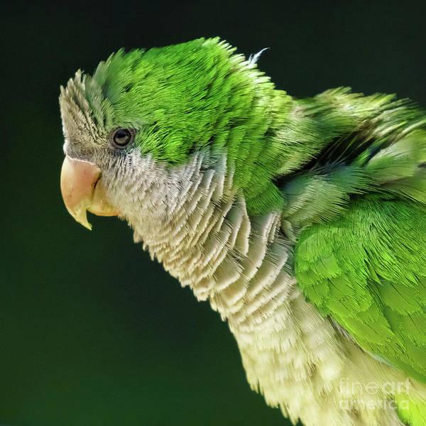 Photograph - Monk Parakeet Myiopsitta Monachus by Pablo Avanzini