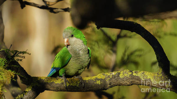 Photograph - Monk Parakeet Perched On A Tree by Pablo Avanzini