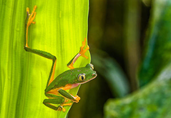 Wall Art - Photograph - Monkey Treefrog by Michael Lustbader