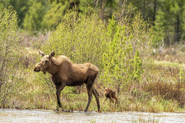 Photograph - Moose Cow With Calf by Brenda Jacobs