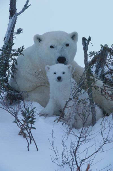 Art In Canada Photograph - Mother Polar Bear & Her Cub, Canada by Art Wolfe