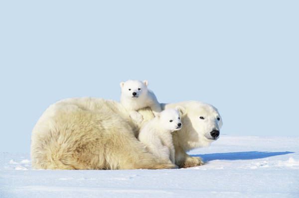 Art In Canada Photograph - Mother Polar Bear With Cubs, Canada by Art Wolfe