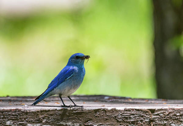 Photograph - Mountain Bluebird by Michael Chatt