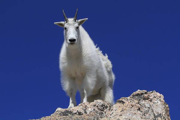Goat Rocks Photograph - Mountain Goat Oreamnos Americanus by John Kieffer
