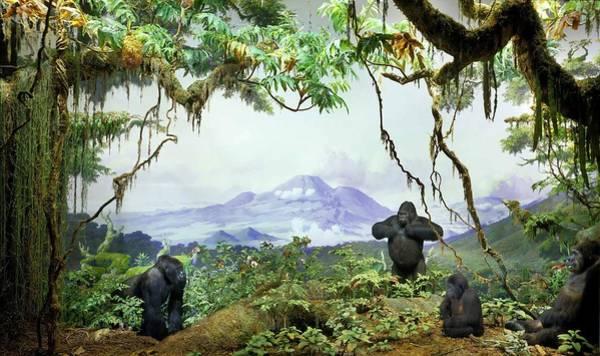 Gorilla Beringei Beringei Painting - Mountain Gorilla  Gorilla Gorilla Beringei  In The Akeley Hall Of African Mammals  Di  by Anonymous