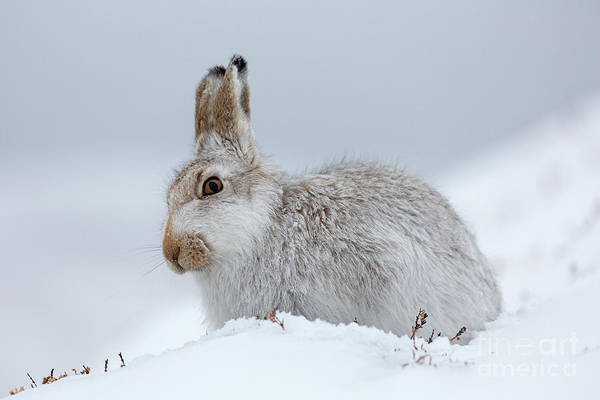 Photograph - Mountain Hare In The Snow by Arterra Picture Library