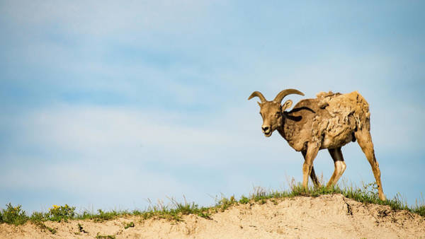 Photograph - Mountain Sheep In Badlands National Park by Art Whitton