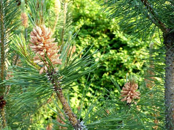 Photograph - Mugo Pine In Spring by Will Borden