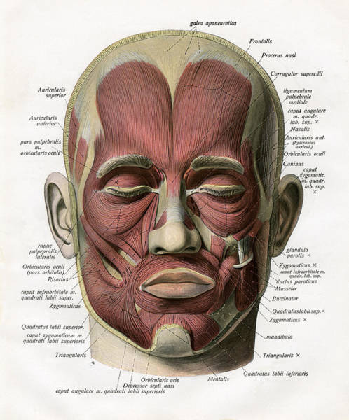 Human Face Digital Art - Muscles Of The Human Face by Graphicaartis