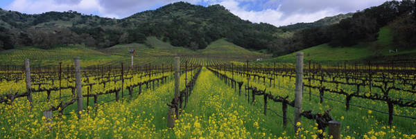 Wall Art - Photograph - Mustard Plants Growing In A Vineyard by Panoramic Images