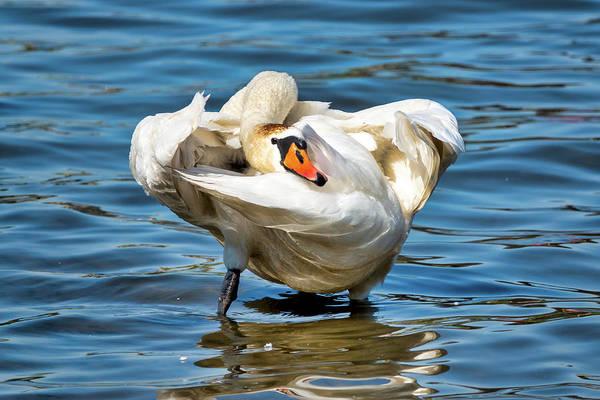 Photograph - Mute Swan  by Fabrizio Troiani