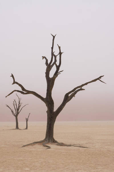 Namibia Fog Shrouds The Dead Acacia Art Print by Brenda Tharp