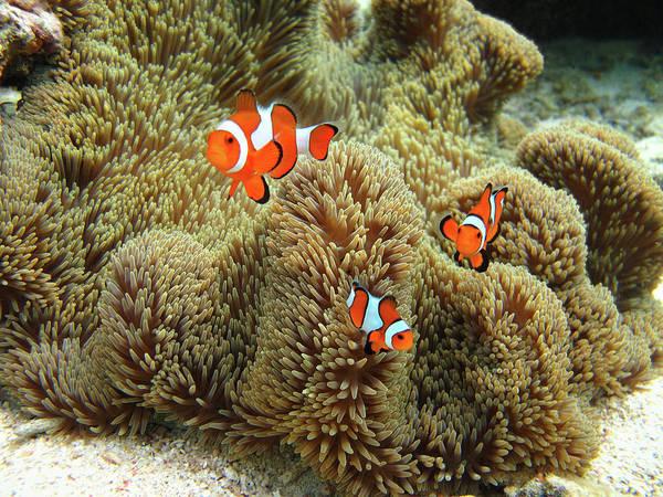 Fish Photograph - Nemo Family by Vuk8691
