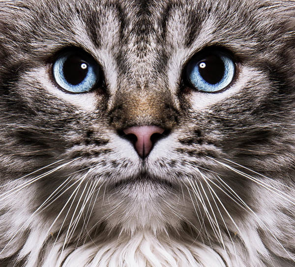 Domestic Animals Photograph - Neva Masquerade Cat In The Studio by Kevin Vandenberghe