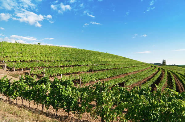 Friuli Photograph - Nice Vineyard Landscape In North Of by Bosca78