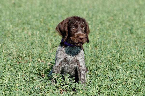 Wall Art - Photograph - Nine-week-old Drahthaar Puppy by William Mullins