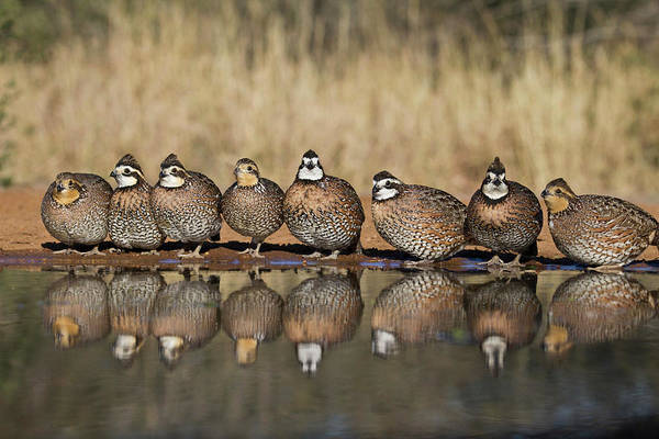 Wall Art - Photograph - Northern Bobwhite Colinus Virginianus by Danita Delimont