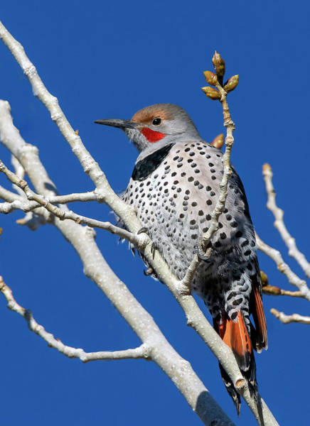 Photograph - Northern Flicker Woodpecker by Rick Mosher