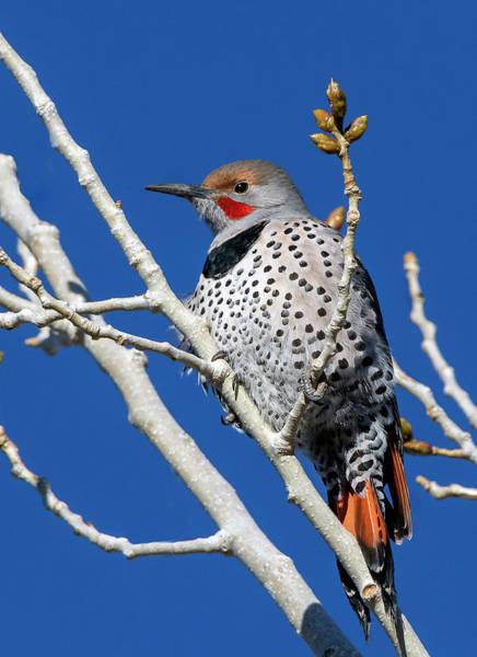 Northern Flicker Woodpecker Art Print