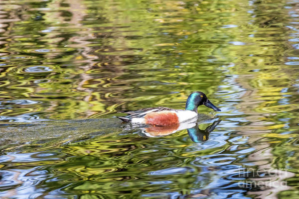 Photograph - Northern Shoveler by Kate Brown