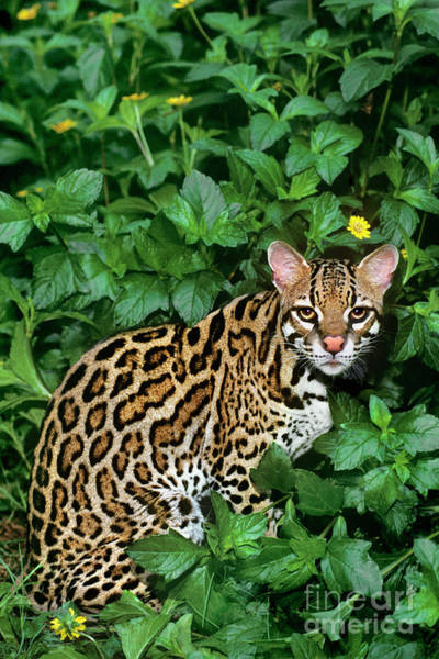 Photograph - Ocelot Felis Pardalis Wildlife Rescue by Dave Welling