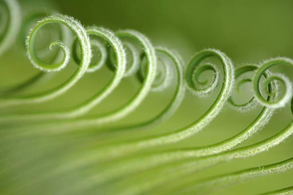 Parallels Wall Art - Photograph - Opening Leaves Of A Japanese Sago Palm by Neil Overy