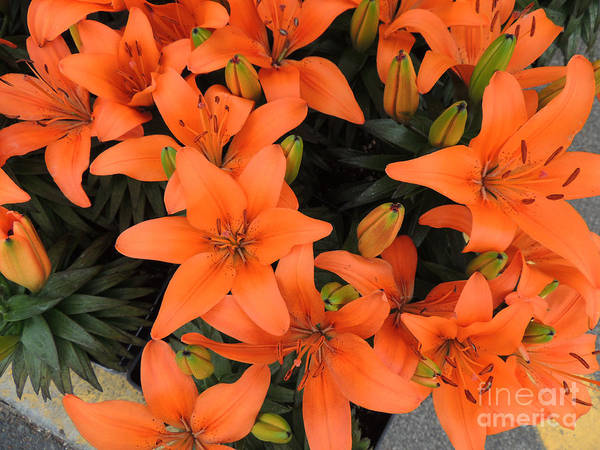 Wall Art - Photograph - Orange Asiatic Lilies by Beverly Guilliams