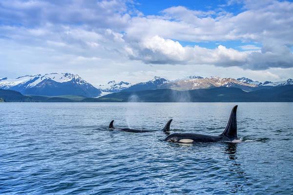 Wall Art - Photograph - Orca Whale  Orcinus Orca  Pod In Lynn by John Hyde