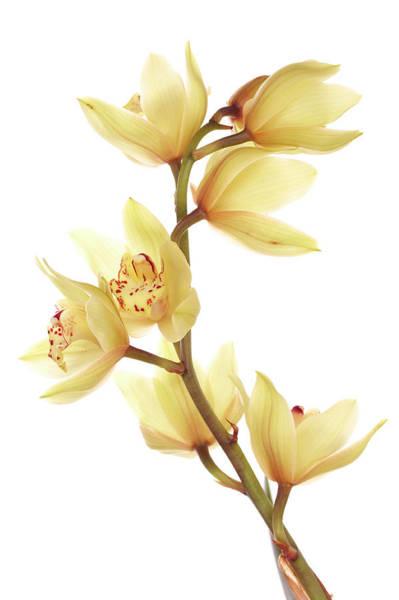 Cymbidium Photograph - Orchid by Aldra