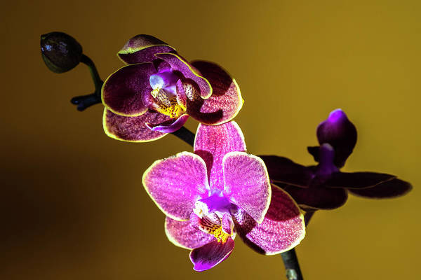Purple Carrot Photograph - Orchids-3 by Vira Sivachuk