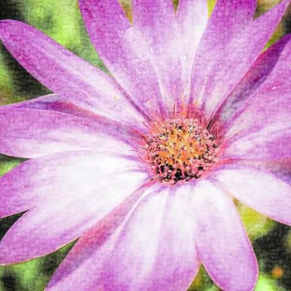 Photograph - Osteospermum by Nigel Dudson