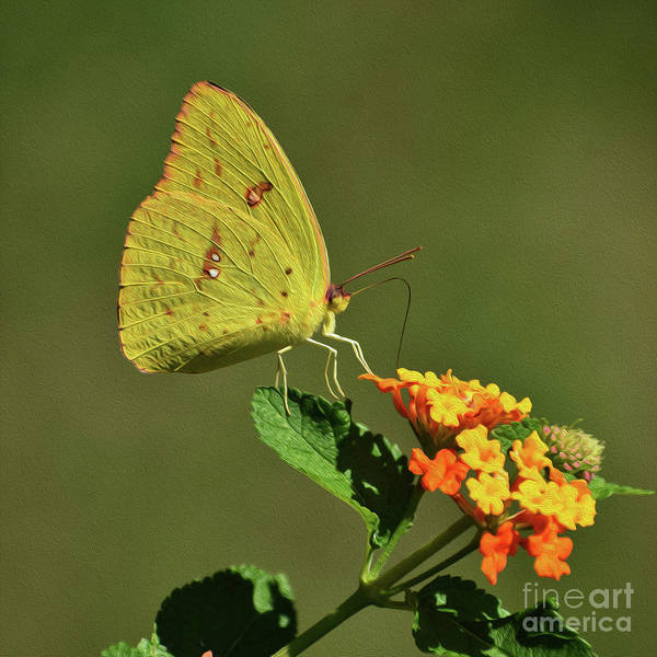 Sulfur Butterfly Wall Art - Photograph - Painted Sulfur by Skip Willits