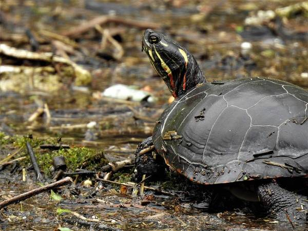 Wall Art - Photograph - Painted Turtle by Betty-Anne McDonald