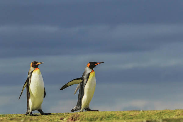 Wall Art - Photograph - Pair Of King Penguins, Volunteer Point by Adam Jones