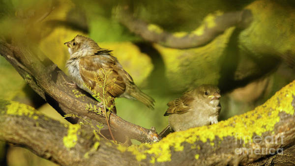 Photograph - Pair Of Spanish Sparrows Perched On A Tree by Pablo Avanzini