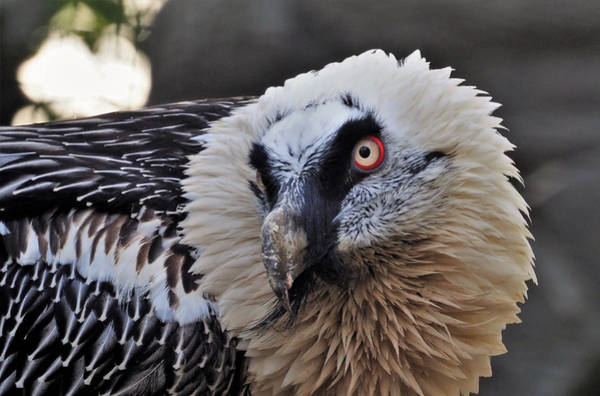 Photograph - Palm Vulture by Eye to Eye Xperience