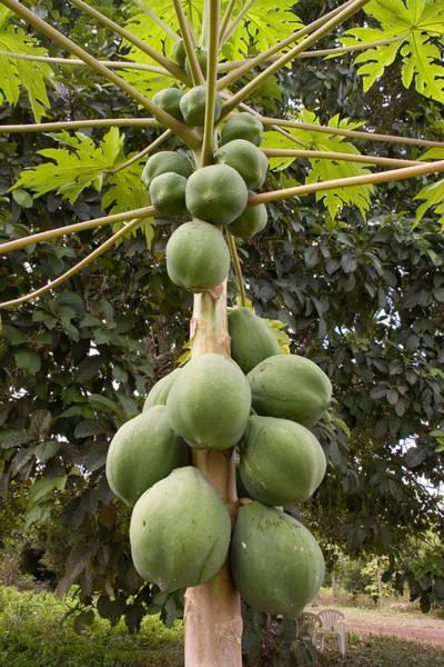 Wall Art - Photograph - Papaya Fruit by David Hosking